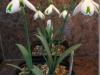 Galanthus 'Trumps' - Lily-Anne Vereecken