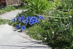 Trompetgentianen in de tuin