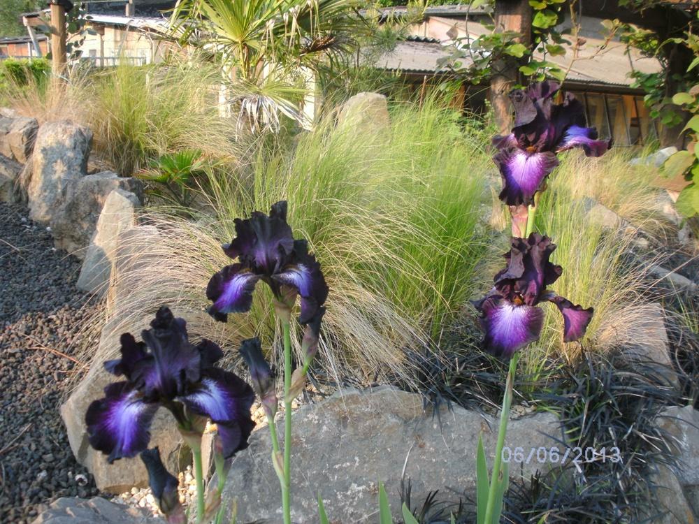 Iris germanica-Baltic star
