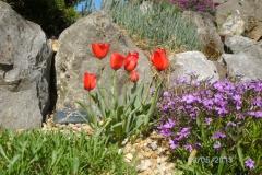 Tulipa red hunter