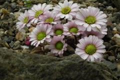 Callianthemum anemonïdes