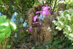 Pleione bulbocodioides en Corydalis flexuosa 'Blue Panda'