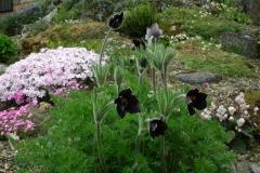 Pulsatilla rubra ssp hispanica met zijn gezelschap