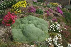 Arenaria tetraquetra var. granatensis met zijn buren
