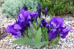 Iris aphylla 'Aslets Purple'