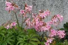 Amaryllis-belladonna-0006