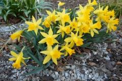 Narcissus-nanus-0016